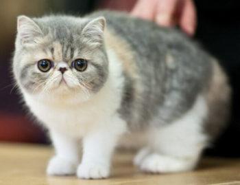 ふくまるの猫種「アメリカンショートヘアー」